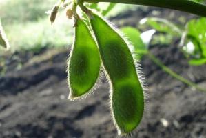 Bez wsparcia nie wzrośnie produkcja roślin wysokobiałkowych