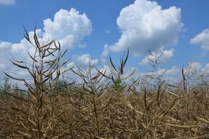 Skutki ewentualnego wycofania z rynku pestycydów w uprawie rzepaku