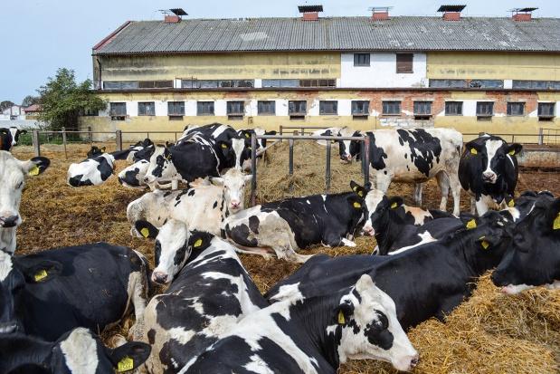 Żywienie i odchów jałówek w stadach bydła mlecznego