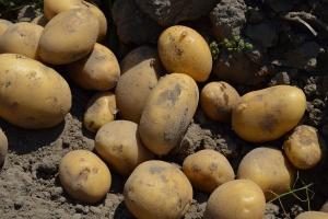 Rosyjskie ziemniaki nie spełniają wymagań McDonald's
