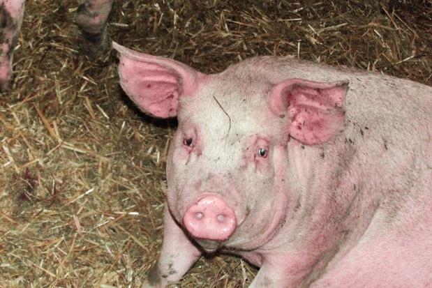 Świnie potrzebują włókna
