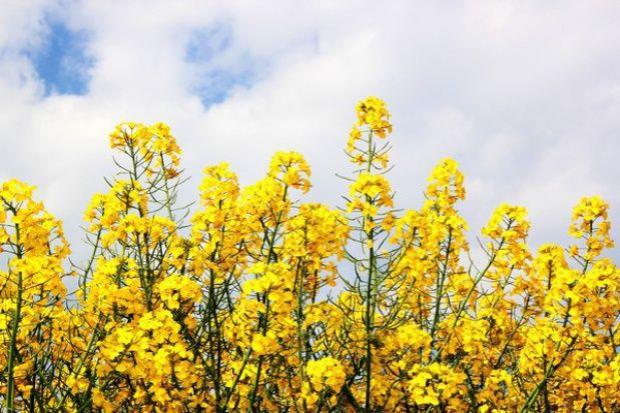 Ile oleju powstało z nasion rzepaku?