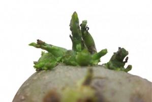 Podkiełkowywanie sadzeniaka już w lutym