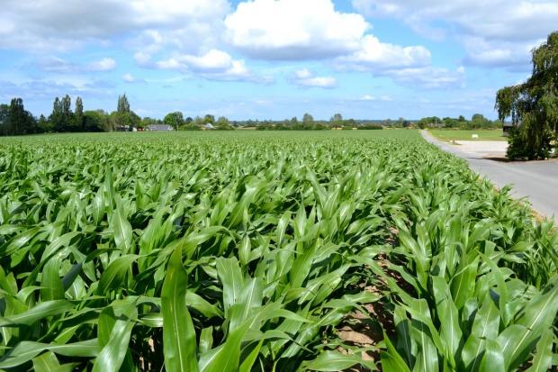 Gdy brakuje kiszonki z kukurydzy