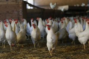Rosja: Więcej drobiu i wieprzowiny, mniej rzepaku