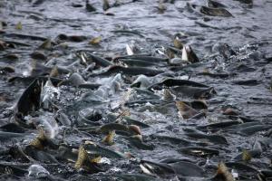 Norweskie ryby płyną do Polski