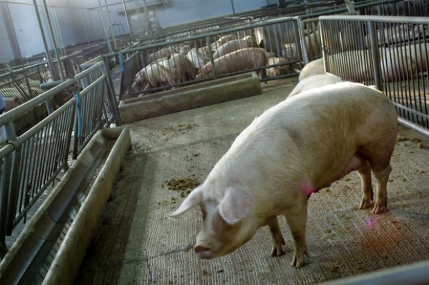 Zespół ekspertów z Wielkopolski ma działać na rzecz poprawy sytuacji na rynku świń