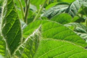 Zarejestrowano nowe odmiany roślin pastewnych
