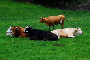 Ile śpi krowa?