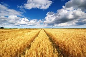 Mniejszy rosyjski eksport pszenicy w 2015 r.