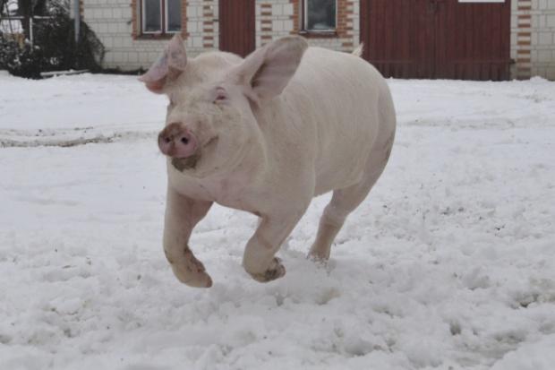Nawet przy jednej świni trzeba zarejestrować siedzibę stada