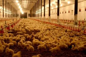 Rusza promocja europejskiego drobiu w Azji