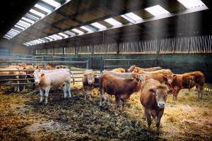 Czy stawiać na czystorasowe bydło mięsne?