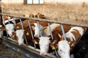W skupach bydła nieznaczne podwyżki