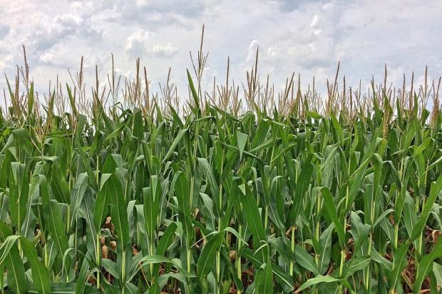 UE: Kukurydza przede wszystkim na paszę