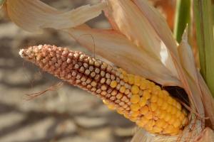 Czy El Niño nadal wpływa na uprawy?