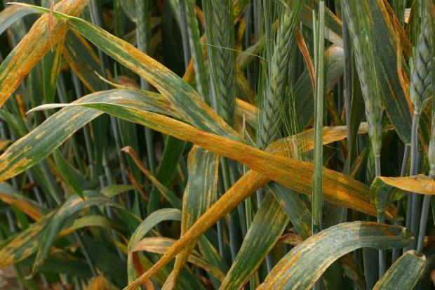 Ochrona fungicydowa produktami BASF