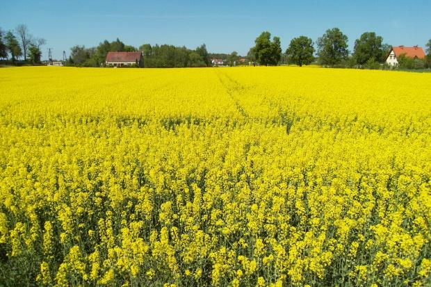 Ukraina: Mniejsze zbiory rzepaku i niższy eksport
