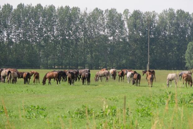 Zyski z hodowli i aukcji koni w Janowie w dużej części dla pośrednika