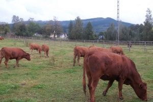 Niewielkie zmiany cen w skupach żywca wołowego