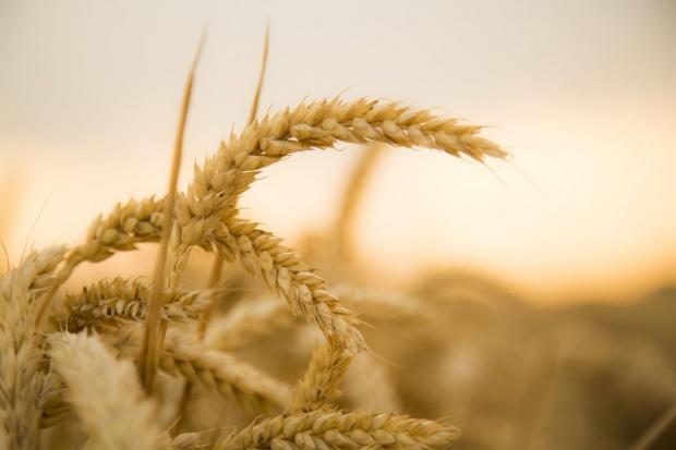 USDA: Mniejsza prognoza światowej produkcji pszenicy