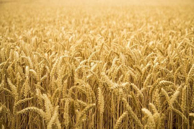 Ukraina: Eksperci oczekują znacznego spadku produkcji pszenicy