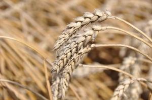 Po raporcie USDA ceny zbóż wzrosły