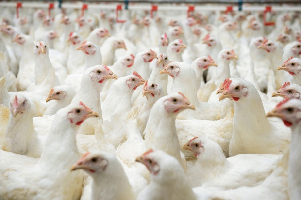 Europosłowie chcą zakazu faszerowania zwierząt antybiotykami