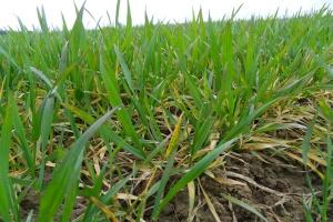 Nawożenie nalistne zbóż magnezem jest konieczne