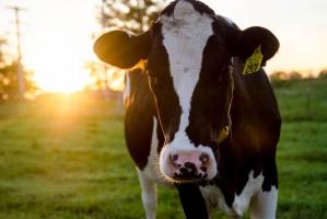 Rolnicy muszą mieć udział w opłacie za przekroczenie kwot mlecznych