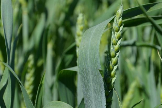 Ceny zbóż nie zmieniły się – rolnicy czekają na podwyżki