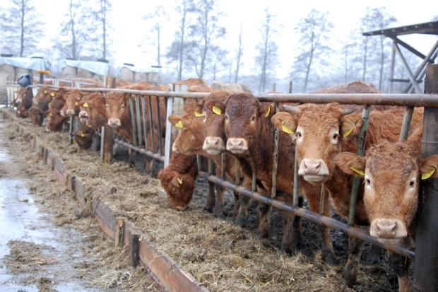 UE: Wzrósł eksport żywca wołowego