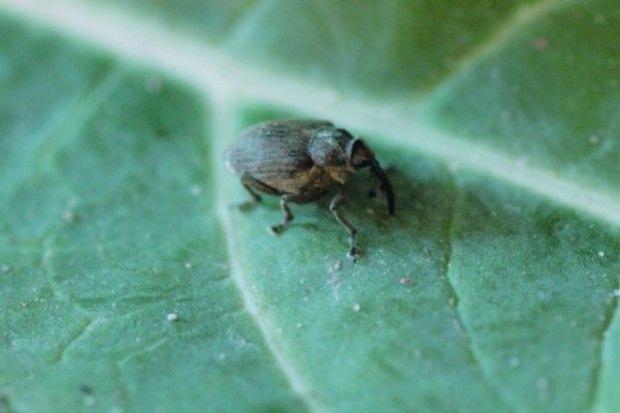 Temperatura a działanie insektycydów na chowacze