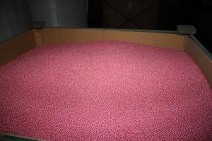 Siew buraka cukrowego nasionami z ubiegłego sezonu