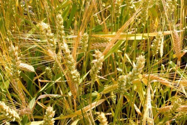 Technologia uprawy mieszanki zbożowej złożonej z 3 zbóż jarych
