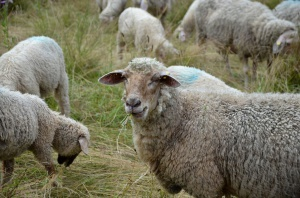 Rumunia: Alert KE w sprawie sera był błędny