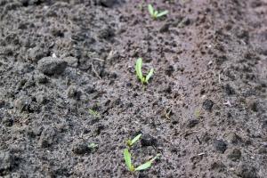 Działanie następcze herbicydów w uprawie buraka cukrowego