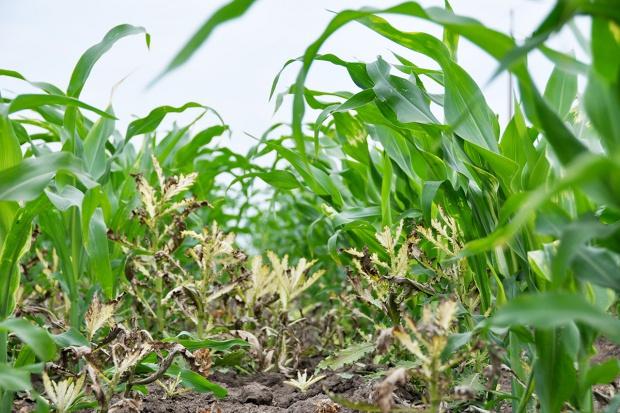 Obniżone dawki herbicydów