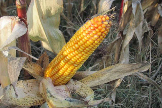 Uwaga na mikotoksyny w kukurydzy