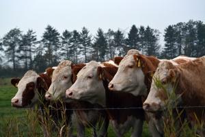 Argentyna zezwoliła na import bydła