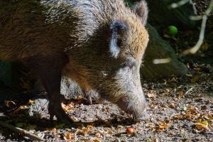Na terenie Rezerwatu Białowieskiego Parku Narodowego nie ma dzików