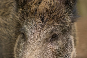 Niemcy przygotowują się na afrykański pomór świń