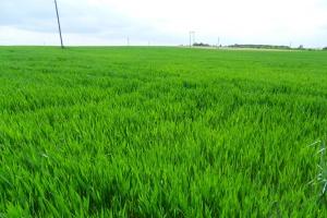 SG: Zapowiadają się wysokie zbiory zbóż