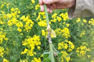 Wpływ przedplonu na skuteczność fungicydów