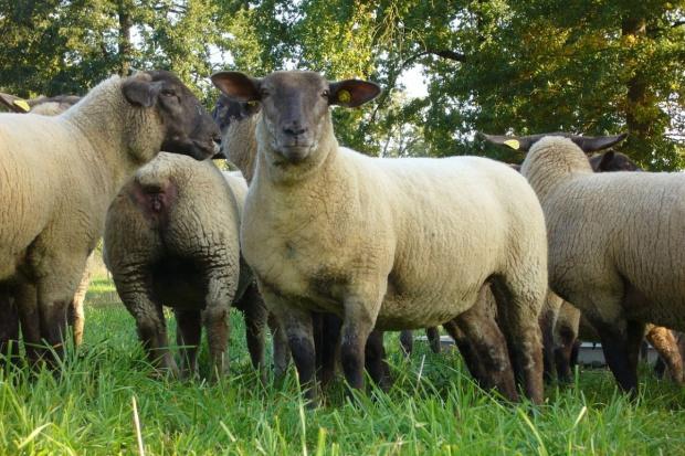 Włochy: Władze Ferrary zatrudniły owce do koszenia trawy
