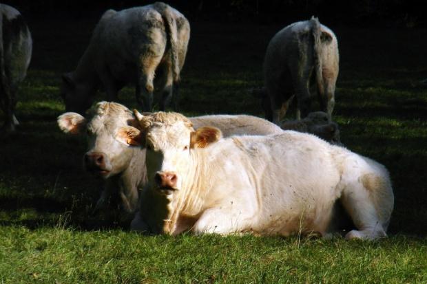 UE: Wołowina nieznacznie tanieje