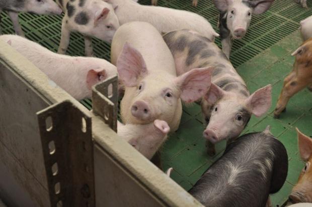 Chiny potrzebują europejskiej wieprzowiny