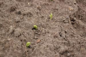 Mijają optymalne terminy siewu grochu, wcześniej zasiany już wschodzi