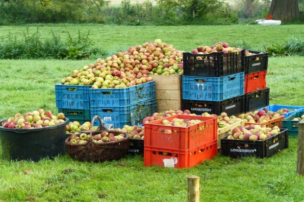 Za duże zapasy jabłek