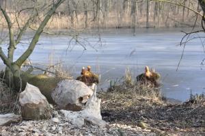 Prawidłowe utrzymanie grobli zatrzyma bobra?